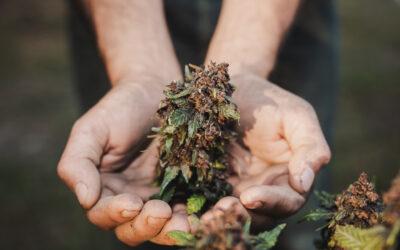 Come la cannabis potrebbe aiutarci nella cura del Covid 19